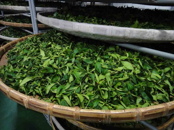 feuilles_thé_oolong_tea_leaf
